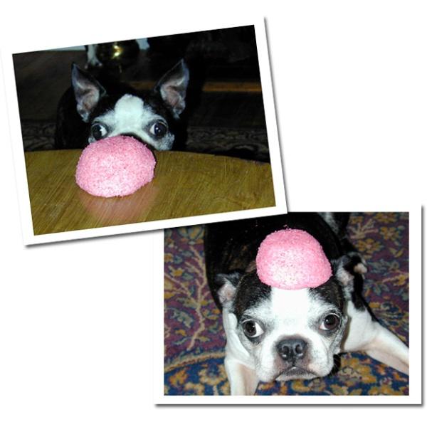 French Bulldog with a Hostess Sno Ball