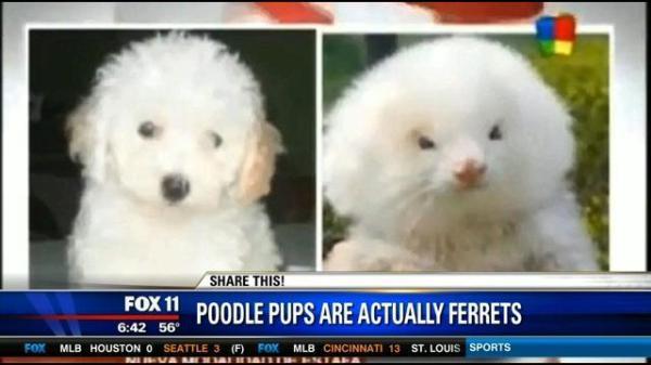 Ferret Poodle